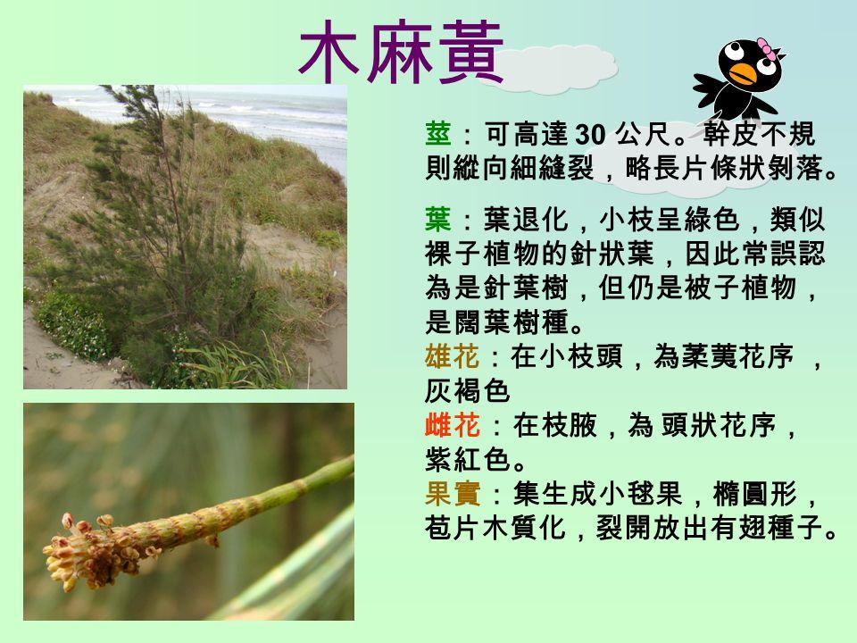 木麻黃 莖:可高達 30 公尺。幹皮不規 則縱向細縫裂,略長片條狀剝落。 葉:葉退化,小枝呈綠色,類似 裸子植物的針狀葉,因此常誤認 為是針葉樹,但仍是被子植物, 是闊葉樹種。 雄花:在小枝頭,為葇荑花序 , 灰褐色 雌花:在枝腋,為 頭狀花序, 紫紅色。 果實:集生成小毬果,橢圓形, 苞片木質化,裂開放出有翅種子。