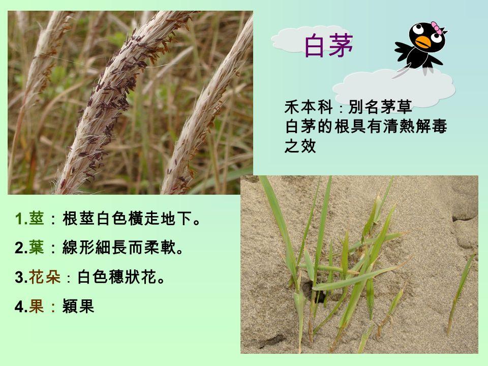 白茅 1. 莖:根莖白色橫走地下。 2. 葉:線形細長而柔軟 。 3. 花朵 : 白色穗狀花。 4. 果:穎果 禾本科 : 別名茅草 白茅的根具有清熱解毒 之效