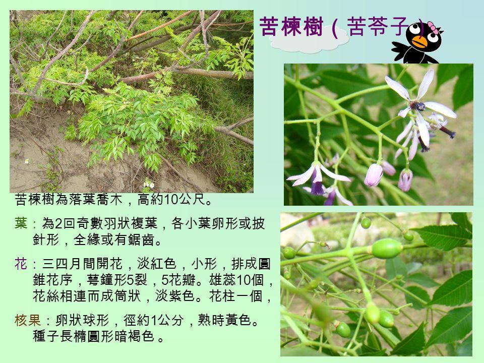苦楝樹(苦苓子) 苦楝樹為落葉喬木,高約 10 公尺。 葉:為 2 回奇數羽狀複葉,各小葉卵形或披 針形,全緣或有鋸齒。 花:三四月間開花,淡紅色,小形,排成圓 錐花序,萼鐘形 5 裂, 5 花瓣。雄蕊 10 個, 花絲相連而成筒狀,淡紫色。花柱一個, 核果:卵狀球形,徑約 1 公分,熟時黃色。 種子長橢圓形暗褐色 。