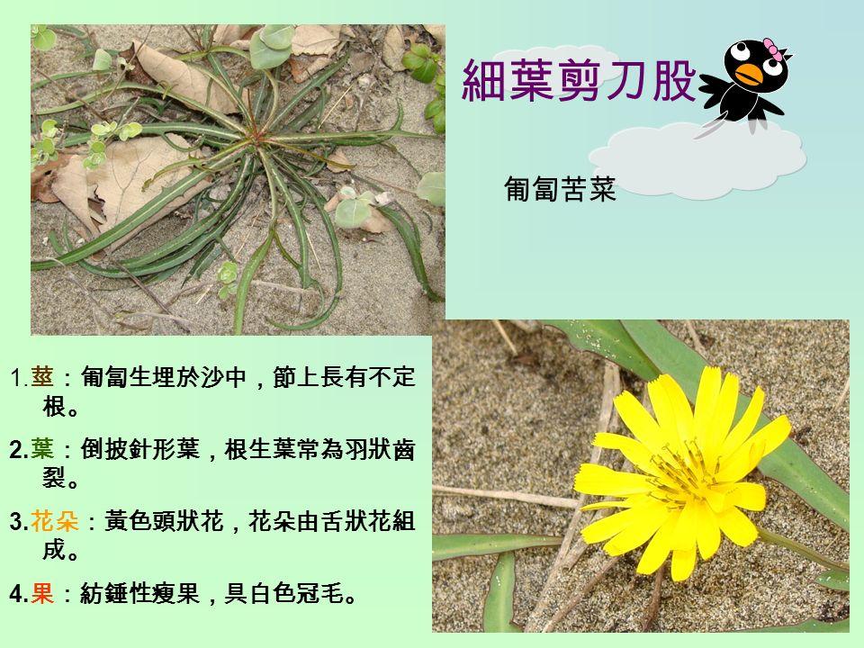 細葉剪刀股 1. 莖:匍匐生埋於沙中,節上長有不定 根。 2. 葉:倒披針形葉,根生葉常為羽狀齒 裂。 3. 花朵:黃色頭狀花,花朵由舌狀花組 成。 4. 果:紡錘性瘦果,具白色冠毛。 匍匐苦菜