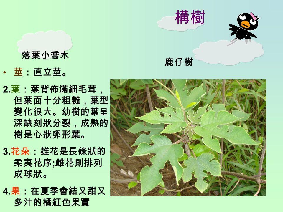 構樹 落葉小喬木 莖:直立莖。 2. 葉:葉背佈滿細毛茸, 但葉面十分粗糙,葉型 變化很大。幼樹的葉呈 深缺刻狀分裂,成熟的 樹是心狀卵形葉。 3.