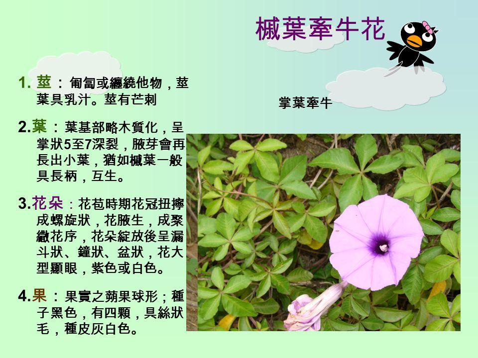 槭葉牽牛花 1. 莖: 匍匐或纏繞他物,莖 葉具乳汁。莖有芒刺 2. 葉: 葉基部略木質化,呈 掌狀 5 至 7 深裂,腋芽會再 長出小葉,猶如槭葉一般, 具長柄,互生。 3.