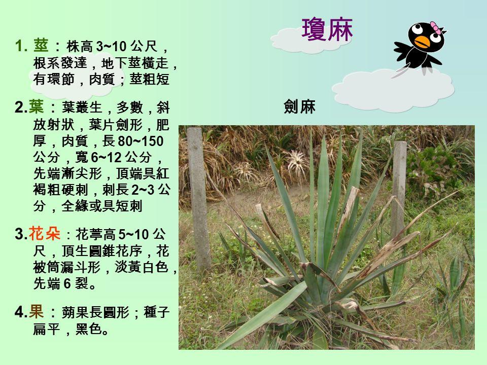 瓊麻 1. 莖: 株高 3~10 公尺, 根系發達,地下莖橫走, 有環節,肉質;莖粗短 2.