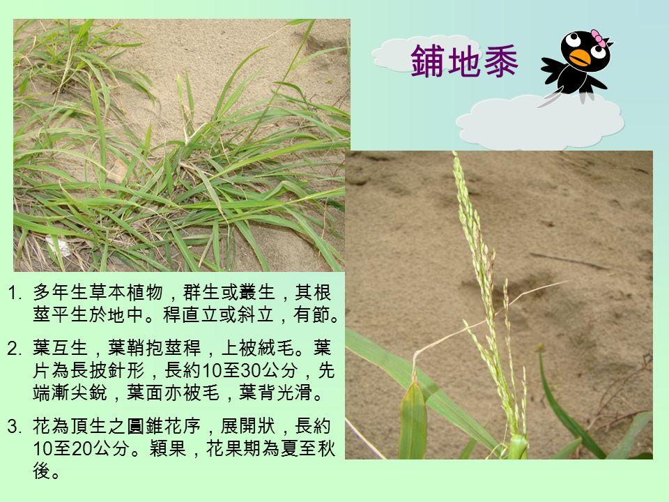 鋪地黍 1. 多年生草本植物,群生或叢生,其根 莖平生於地中。稈直立或斜立,有節。 2.