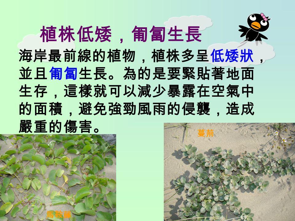 植株低矮,匍匐生長 海岸最前線的植物,植株多呈低矮狀, 並且匍匐生長。為的是要緊貼著地面 生存,這樣就可以減少暴露在空氣中 的面積,避免強勁風雨的侵襲,造成 嚴重的傷害。 馬鞍藤 蔓荊