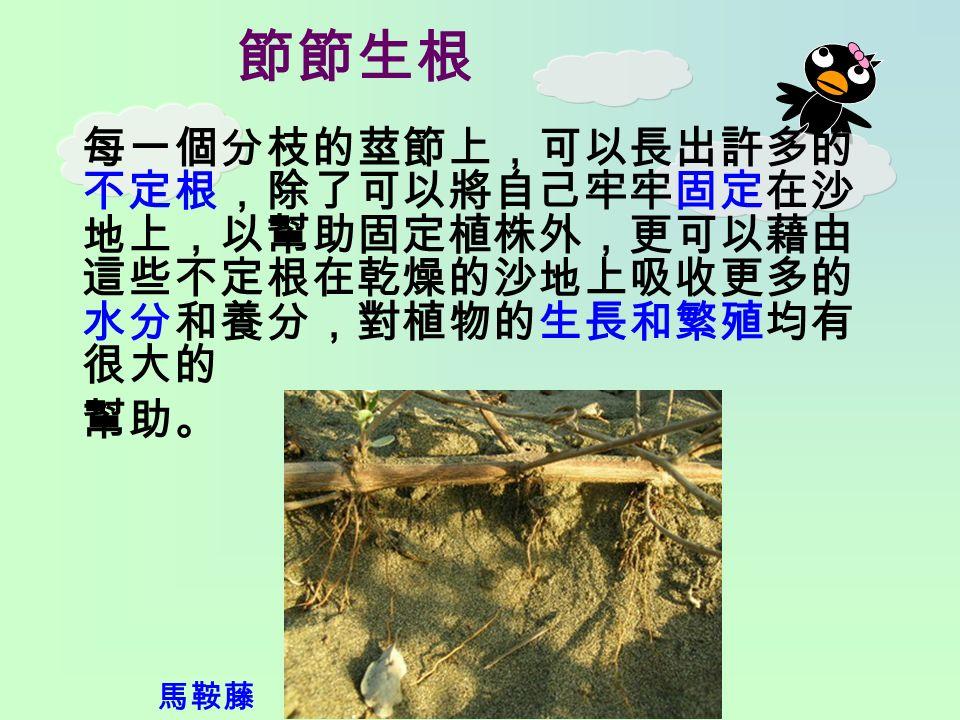 節節生根 每一個分枝的莖節上,可以長出許多的 不定根,除了可以將自己牢牢固定在沙 地上,以幫助固定植株外,更可以藉由 這些不定根在乾燥的沙地上吸收更多的 水分和養分,對植物的生長和繁殖均有 很大的 幫助。 馬鞍藤