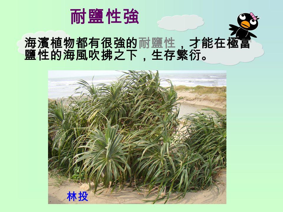 耐鹽性強 海濱植物都有很強的耐鹽性,才能在極富 鹽性的海風吹拂之下,生存繁衍。 林投