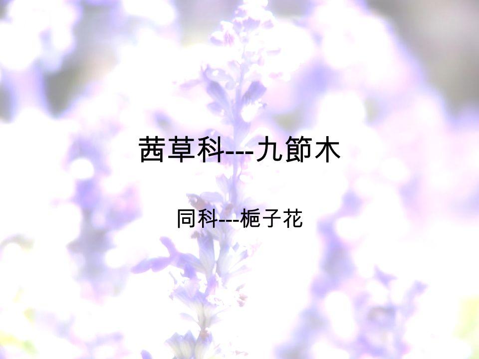茜草科 --- 九節木 同科 --- 梔子花