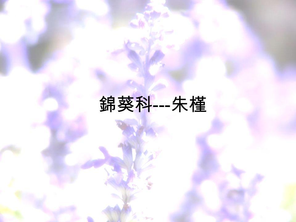 錦葵科 --- 朱槿