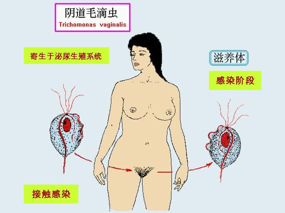 (二)生活史 生活史简单,仅有滋养体期。 传播方式:直接接触传播或间接接触传播。 滋养体既为感染阶段又为致病阶段。 滋养体主要寄生于阴道、尿道及前列腺。