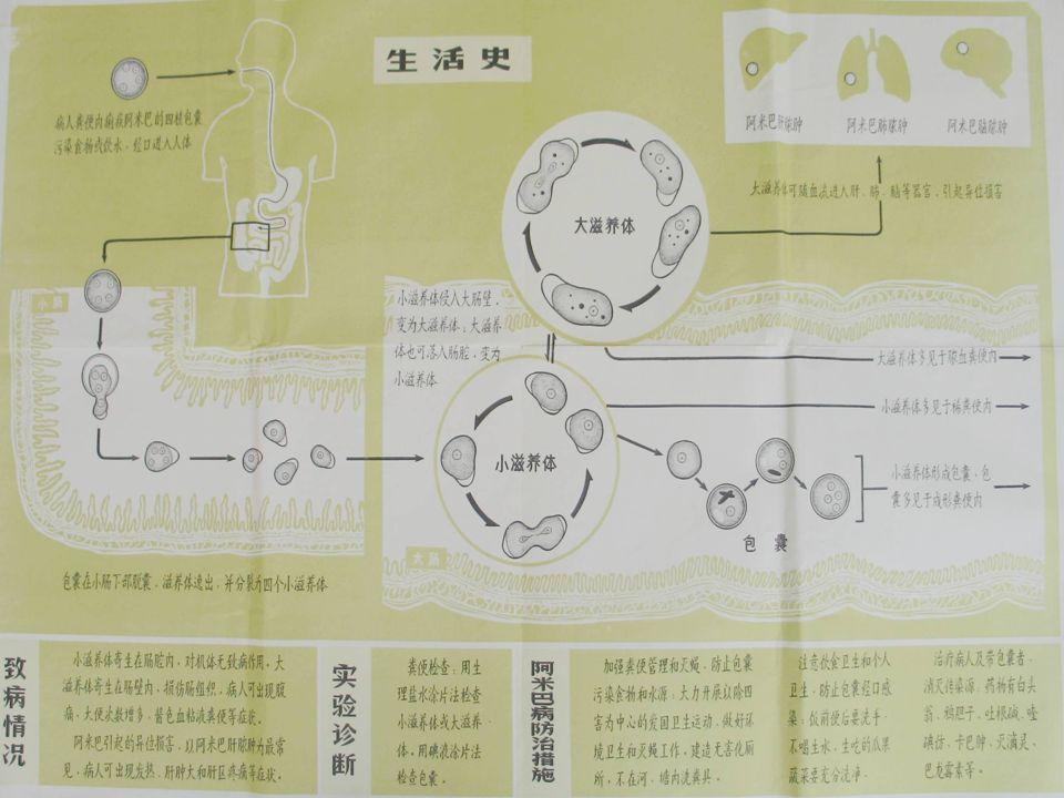 溶组织内阿米巴生活史 基本生活史过程 包囊小滋养体包囊 包囊 小滋养体 包囊 – 感染期 – 感染期:四核包囊 – 寄生部位 – 寄生部位:回盲部、结肠粘膜皱褶处 – 二分裂法增殖