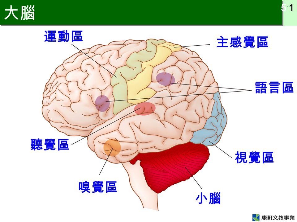 5 ˙ 1 大腦 運動區 主感覺區 語言區 視覺區 嗅覺區 聽覺區 小腦