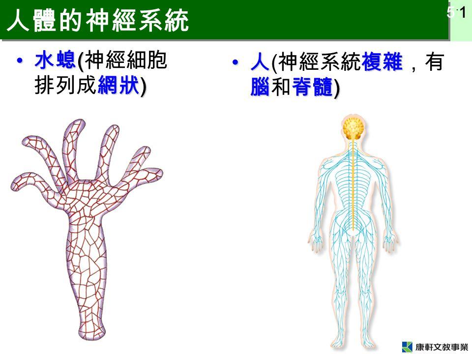 5 ˙ 1 人體的神經系統 水螅 ( 網狀 ) 水螅 ( 神經細胞 排列成網狀 ) 人複雜 腦脊髓 ) 人 ( 神經系統複雜,有 腦和脊髓 )