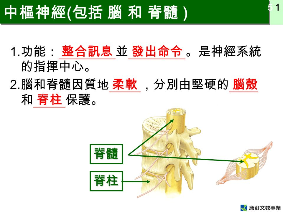 5 ˙ 1 中樞神經 ( 包括 腦 和 脊髓 ) 1. 功能: 整合訊息 並 發出命令 。是神經系統 的指揮中心。 2. 腦和脊髓因質地 柔軟 ,分別由堅硬的 腦殼 和 脊柱 保護。 脊髓 脊柱