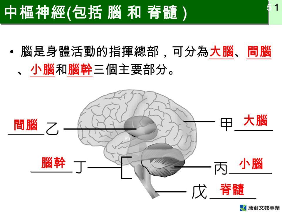 5 ˙ 1 中樞神經 ( 包括 腦 和 脊髓 ) 腦是身體活動的指揮總部,可分為大腦、間腦 、小腦和腦幹三個主要部分。 大腦 間腦 小腦 腦幹 脊髓