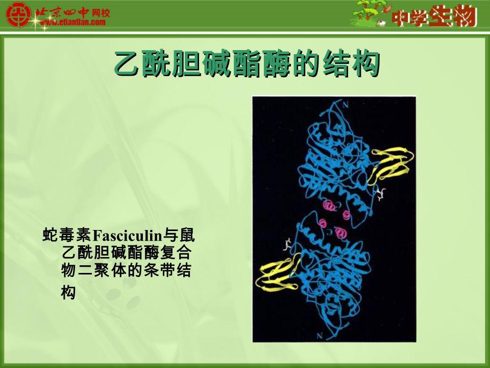 乙酰胆碱酯酶的结构 蛇毒素 Fasciculin 与鼠 乙酰胆碱酯酶复合 物二聚体的条带结 构