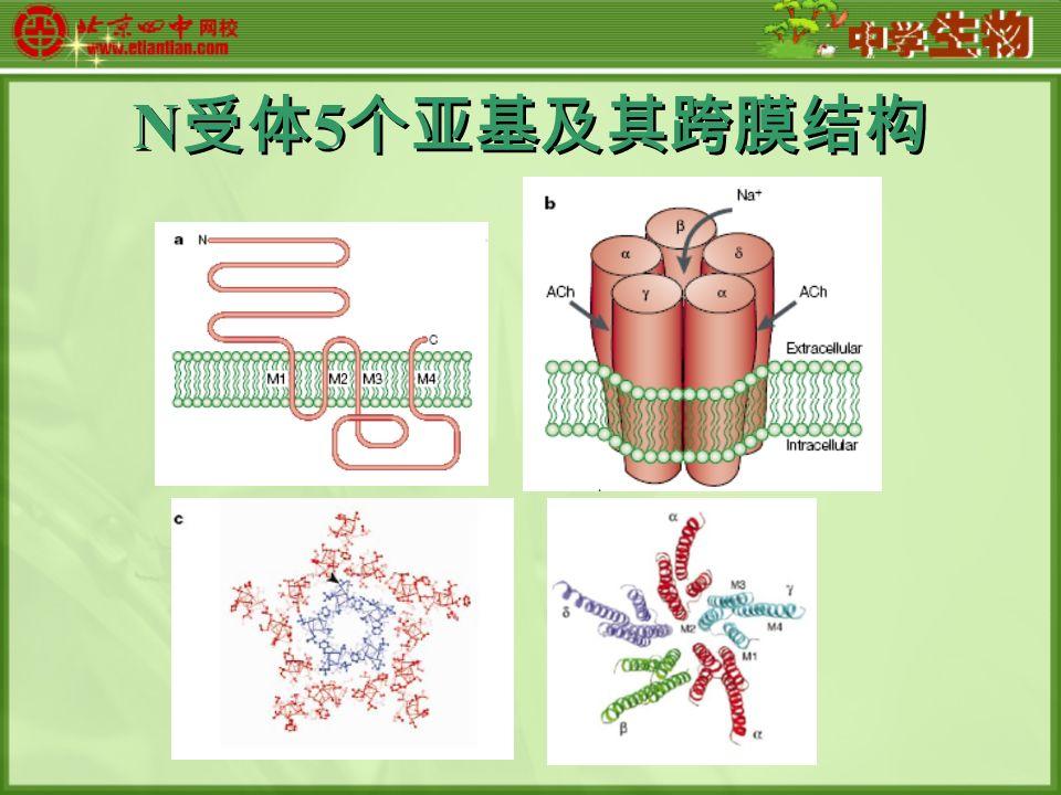 N 受体 5 个亚基及其跨膜结构