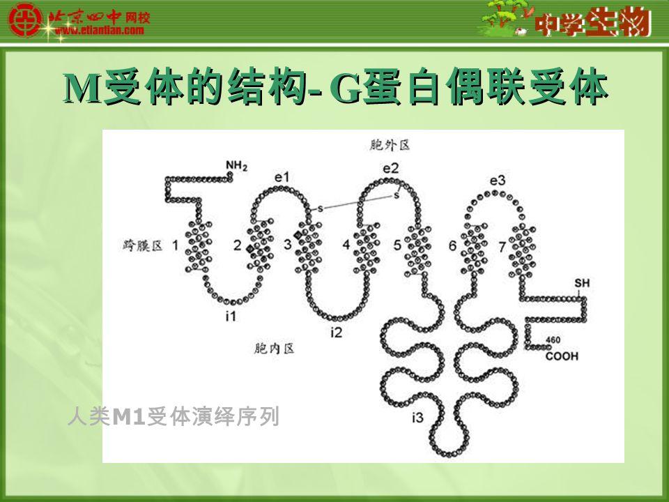M 受体的结构 - G 蛋白偶联受体 人类 M1 受体演绎序列