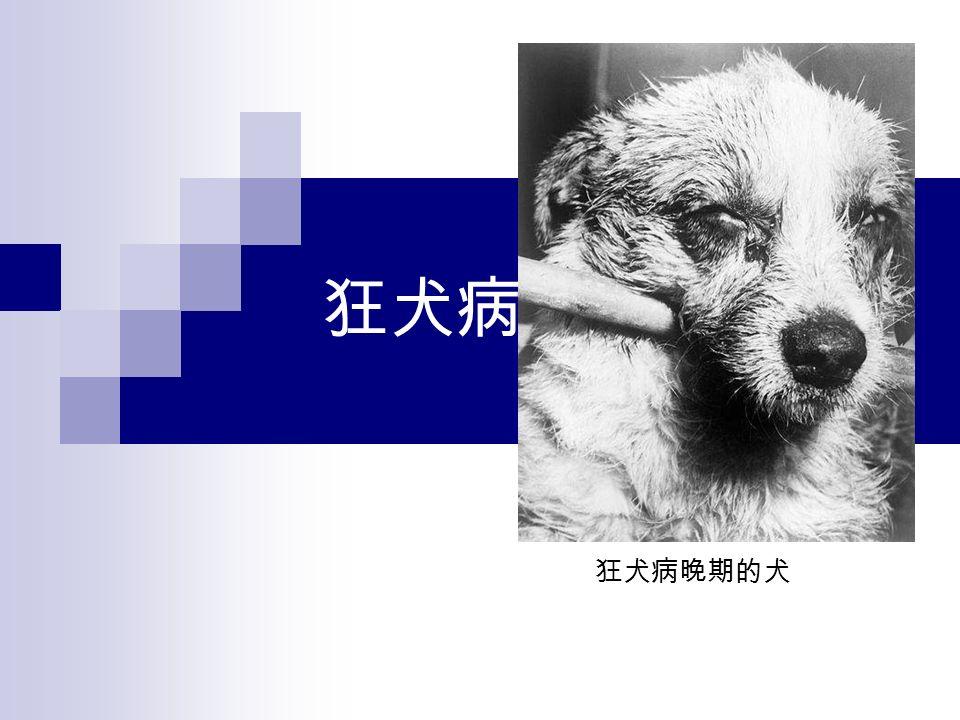 狂犬病 狂犬病晚期的犬