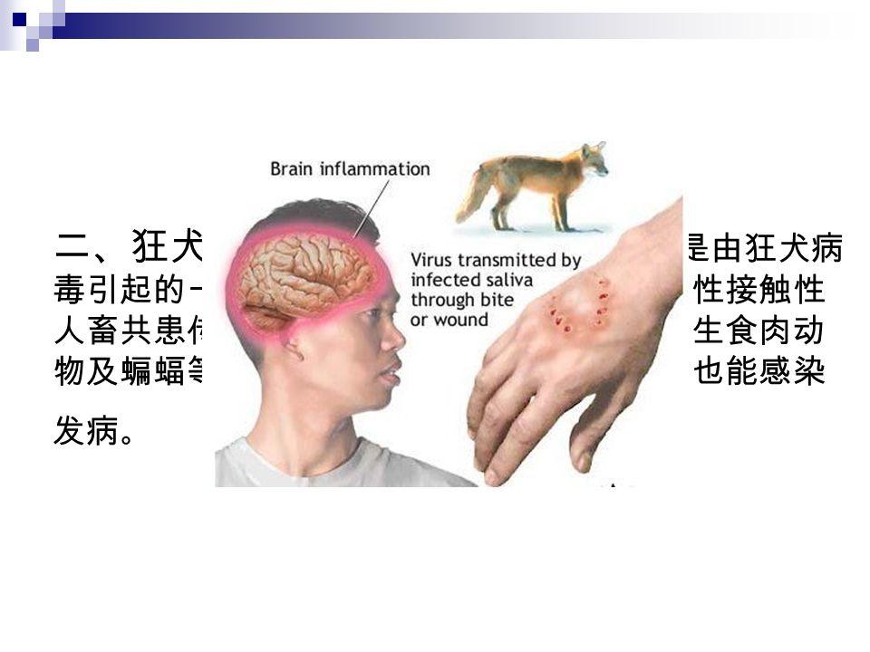 二、狂犬病的危害 : 狂犬病俗称疯狗病,是由狂犬病 毒引起的一种以侵害中枢神经系统为主的急性接触性 人畜共患传染病。主要感染人、犬、猫、野生食肉动 物及蝙蝠等,牛、骆驼、鹿和马等食草动物也能感染 发病 。