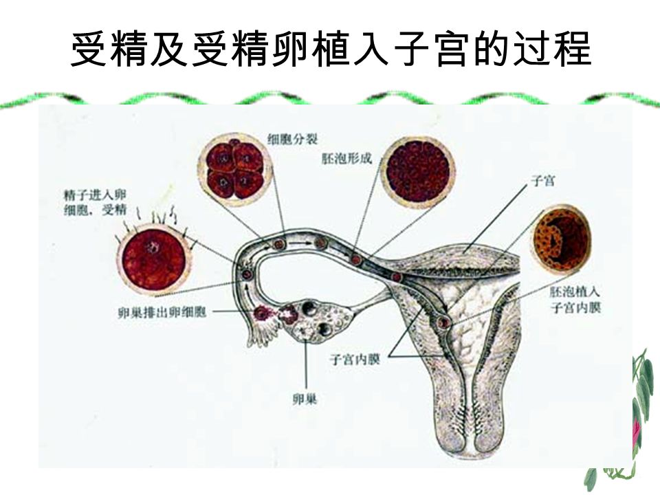 受精及受精卵植入子宫的过程
