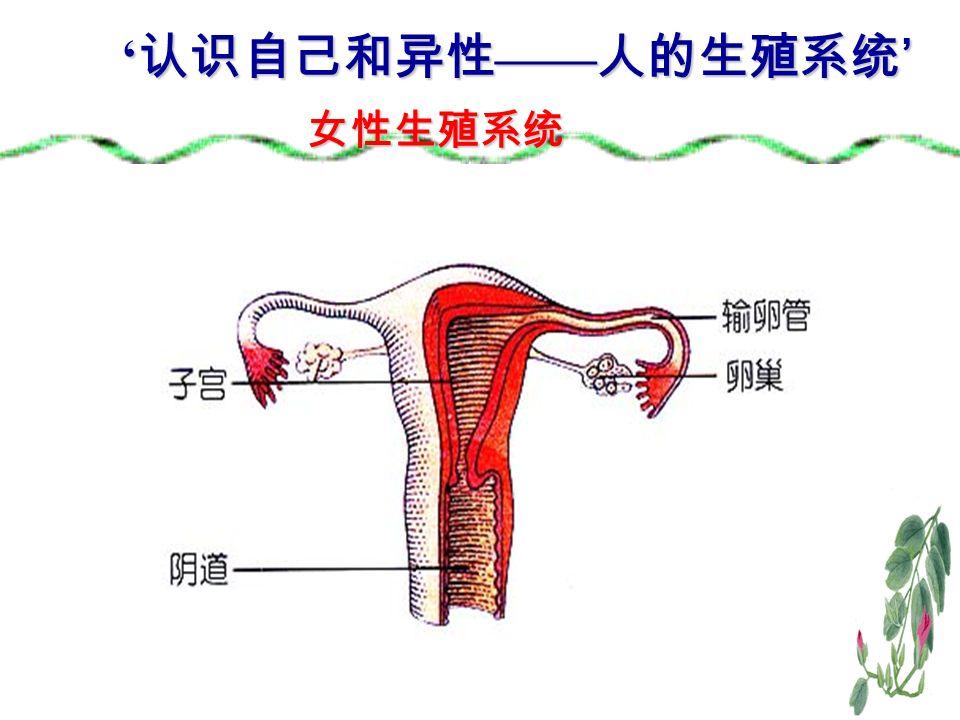 女性生殖系统