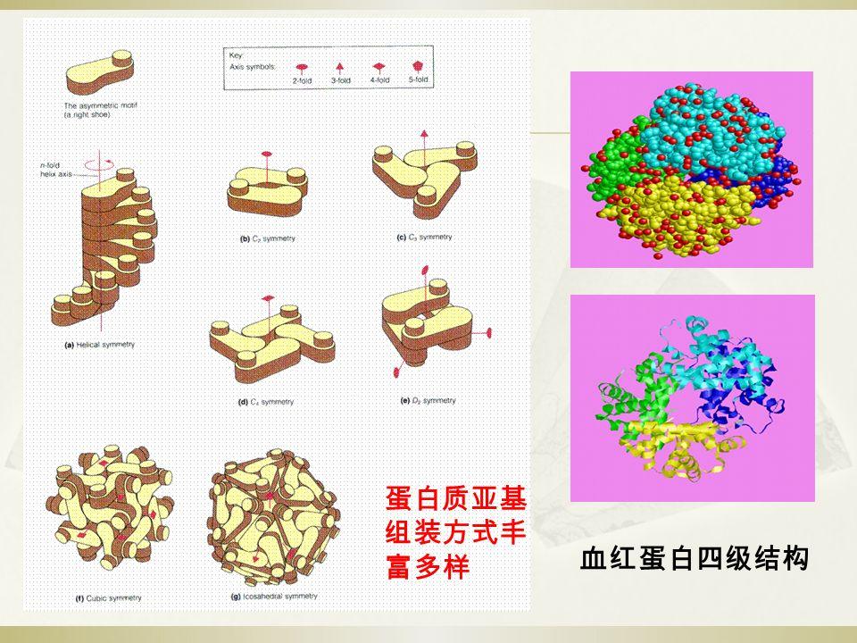 血红蛋白四级结构 蛋白质亚基 组装方式丰 富多样