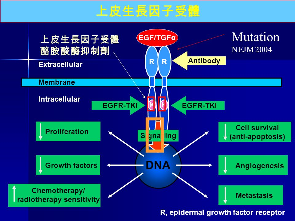 DNA 上皮生長因子受體 Membrane Extracellular Intracellular R K R K EGFR-TKI   Signalling Proliferation Cell survival (anti-apoptosis) Growth factors Chemotherapy/ radiotherapy sensitivity Angiogenesis Metastasis  R, epidermal growth factor receptor EGF/TGFα Antibody 上皮生長因子受體 酪胺酸酶抑制劑 Mutation NEJM 2004