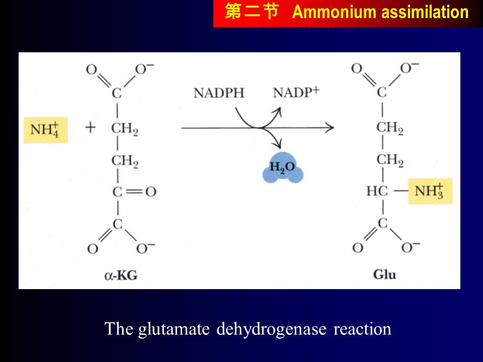 The glutamate dehydrogenase reaction 第二节 Ammonium assimilation